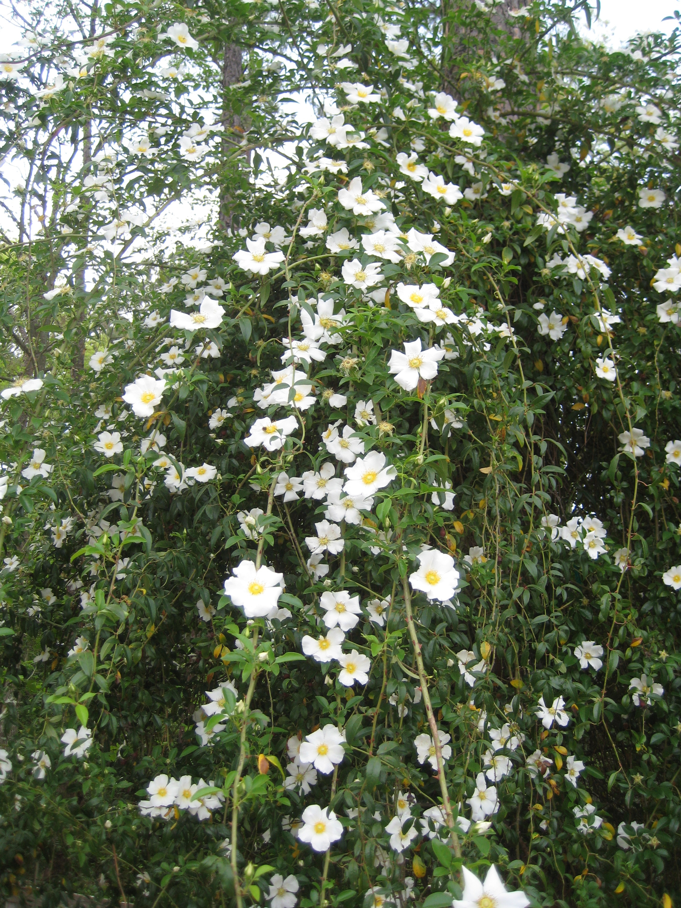 Propagating antique roses for Cherokee rose