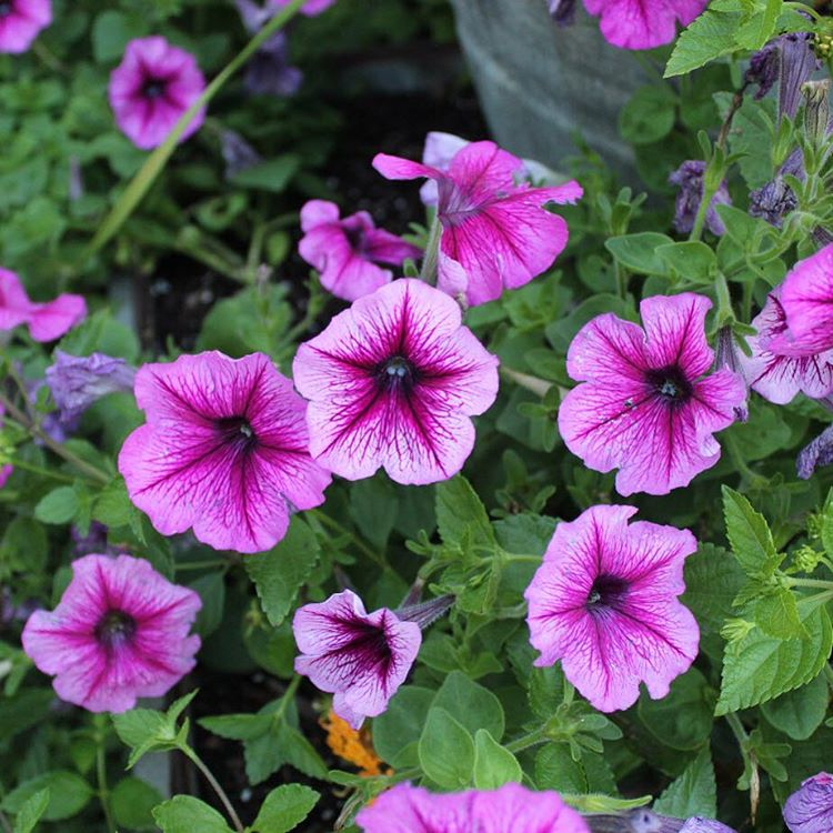 Purple petunias are the perfect compliment to all of thehellip