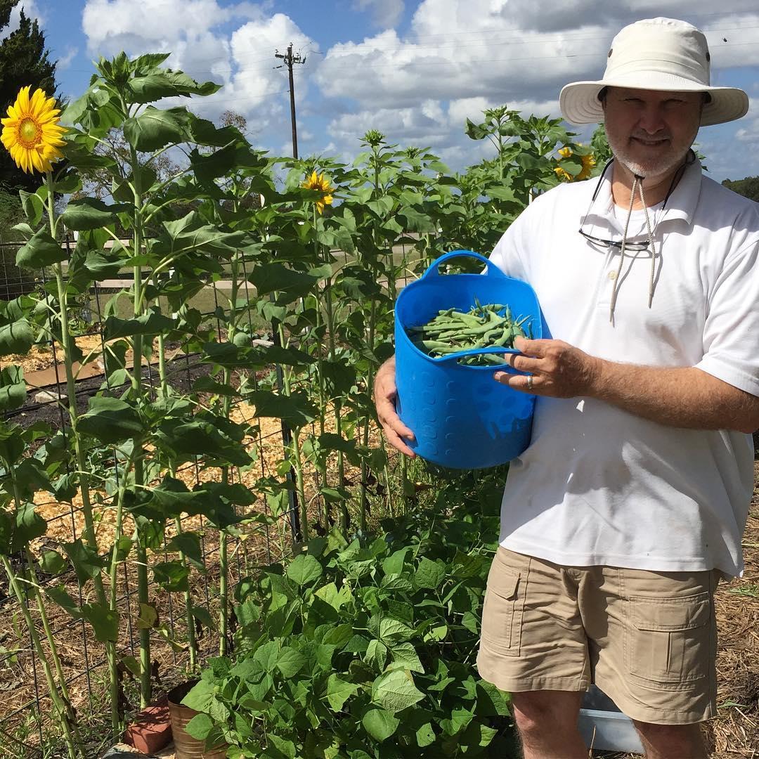 Harvesting Navarro Green Beans! masterofhort brenhamtx brenham organic slowfood organicgardeninghellip