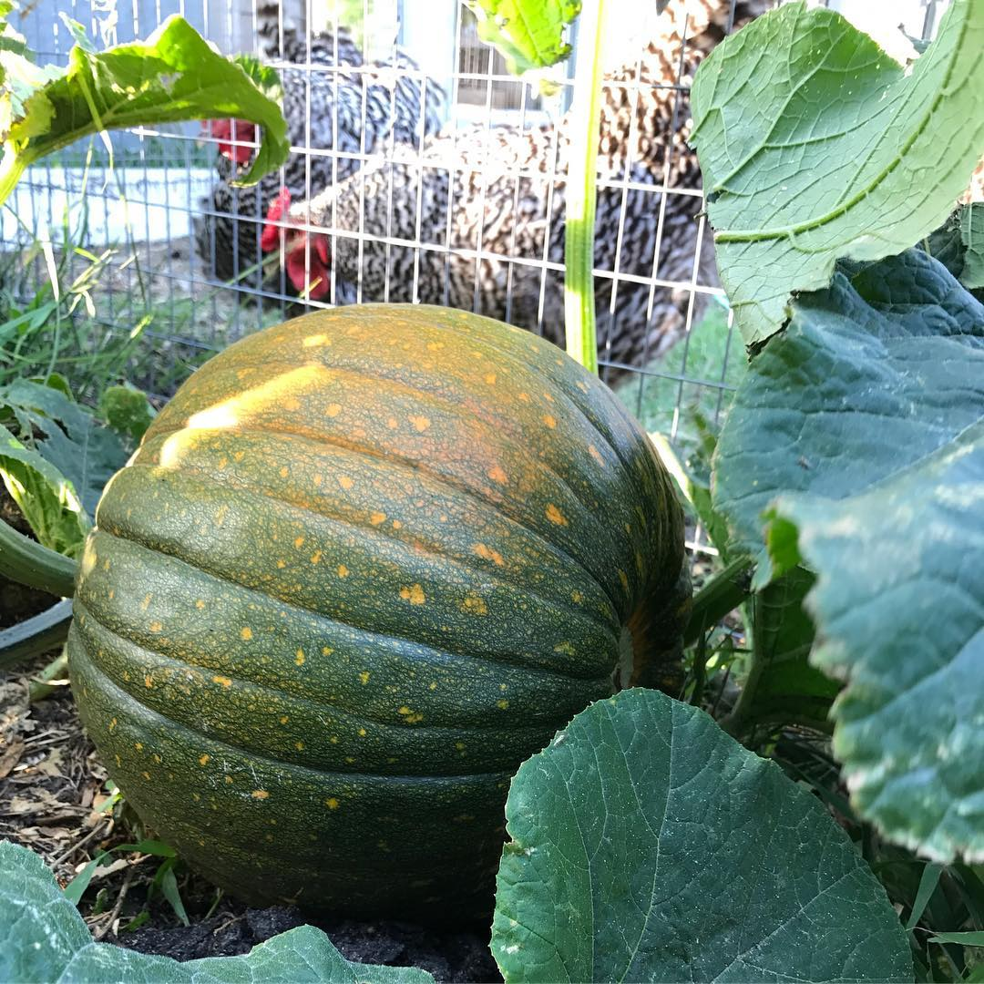 This lovely pumpkin is a volunteer from the compost pilehellip