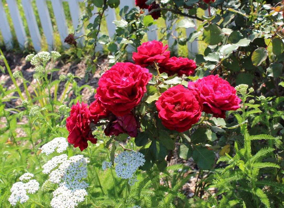 Crimson Glory Antique Rose