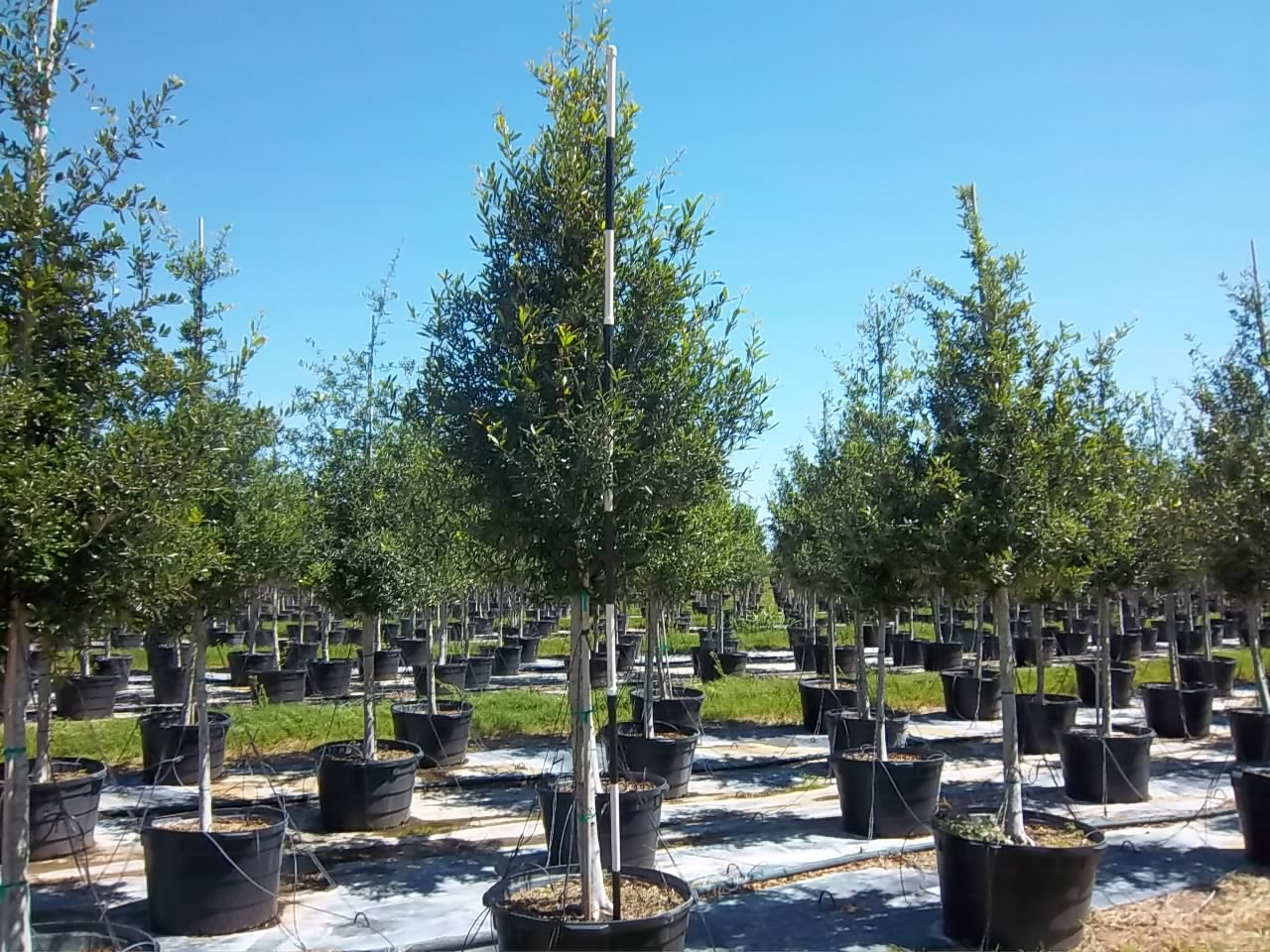 Planting Live Oak Tree Acorns : Incredible new live oak from tree town usa