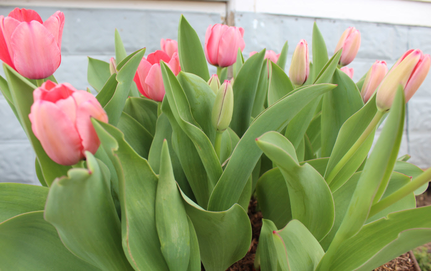 Growing tulips in texas the masters of horticulture for Tulip garden in texas