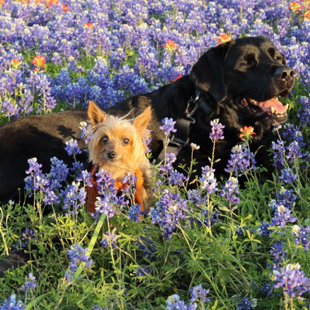 Puppies and bluebonnets in my yard this Easter! masterofhort bluebonnetshellip