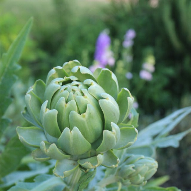 Looking forward to our first artichoke harvest! masterofhort organicgardening organichellip