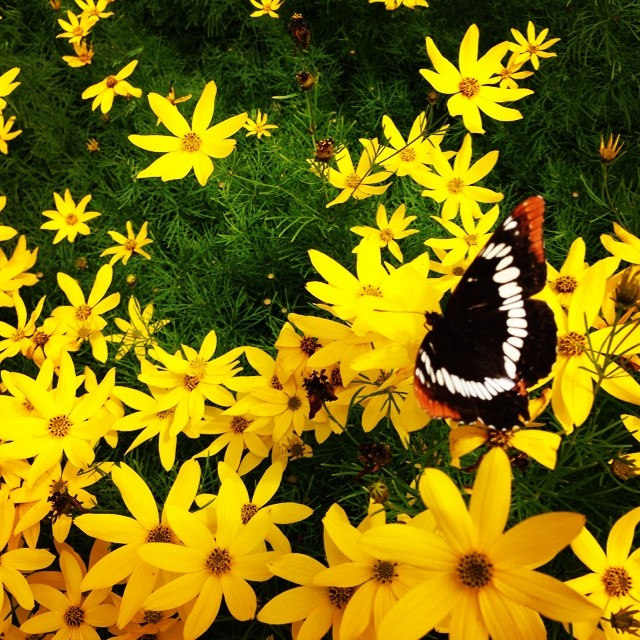 Butterfly in coreopsis
