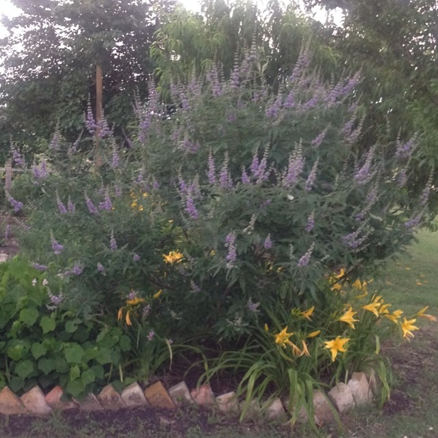 Vitex and day lilies in my yard #masterofhort #vitex #daylily