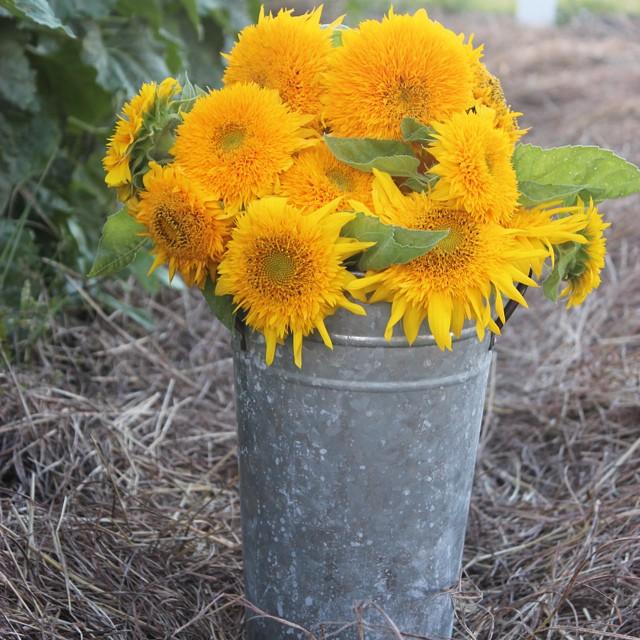 Teddy bear sunflowers from my garden #masterofhort #organic #organicflowers #organicgardening #slowflowers #countryliving