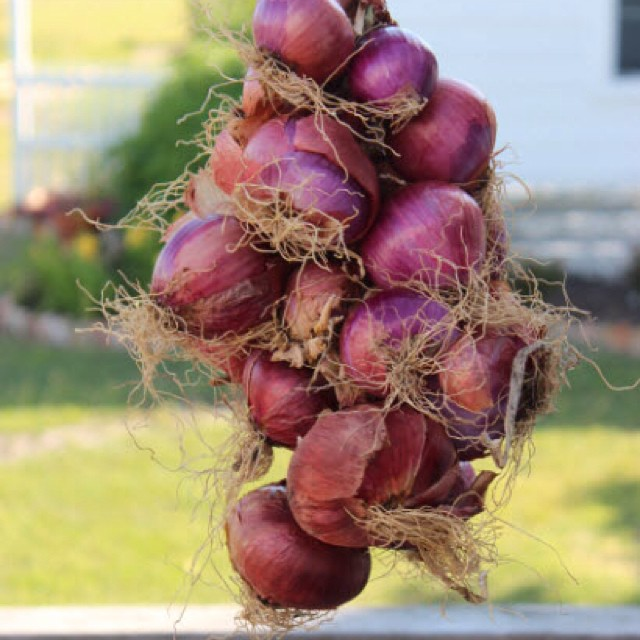 Time to plant onions in Texas! #masterofhort #countryliving #organicgardening #onions
