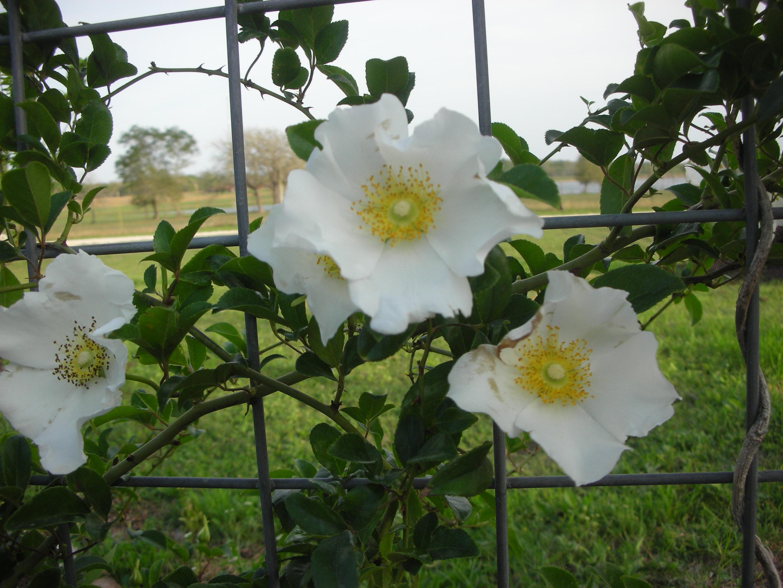 Cherokee rose for Cherokee rose