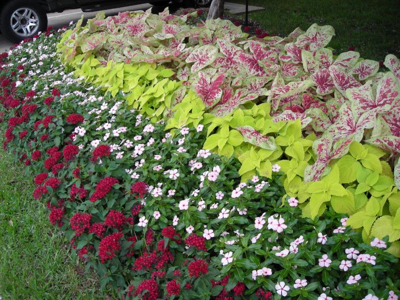 Caladium And Hostas Shade Garden